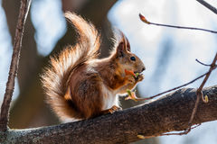 Squirrel sits on a tree Stock Images