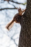 Squirrel sits on a tree Royalty Free Stock Images