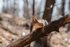 Squirrel sits on a tree Stock Image