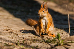 Squirrel sits on a tree stock photo