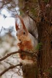 The squirrel sits on a tree and gnaws nuts. Curiosity, trust. Kislovodsk, Russia.  royalty free stock photography
