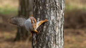 Squirrel sits on a tree. And looks Royalty Free Stock Photo