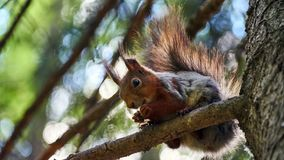 Squirrel sits on a tree Royalty Free Stock Photos