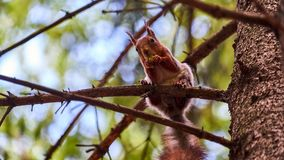Squirrel sits on a tree Royalty Free Stock Photo