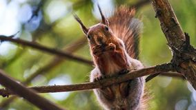 Squirrel sits on a tree Royalty Free Stock Image