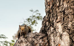 Squirrel sits on tree trunk Stock Images