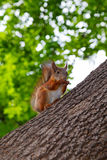 Squirrel sits on the trunk of the tree Stock Photography