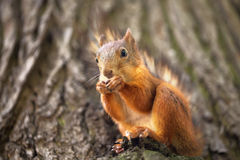 Squirrel sits in the wood Stock Photos