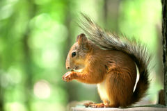 Squirrel sits in the wood. The red squirrel sits in the green wood. doff Royalty Free Stock Photography
