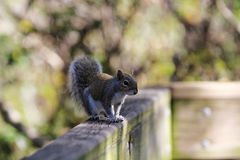 Squirrel. Sits on a wooden bridge Royalty Free Stock Photos