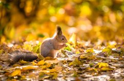 Squirrel sitting in the autumn park. royalty free stock photography