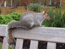 Squirrel sitting on bench back. Cute red and gray squirrel sitting on bench back Royalty Free Stock Photos