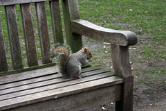 Squirrel sitting on a bench Stock Image