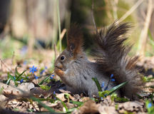 Squirrel sitting at blue flowers at forest Royalty Free Stock Photos