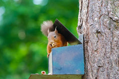 Squirrel sitting on a box Royalty Free Stock Photo