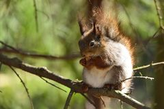 Squirrel sitting on a branch eating a nut Royalty Free Stock Image