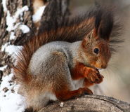 Squirrel. Sitting on a branch eating nuts stock images