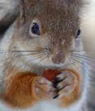Squirrel. Sitting on a branch eating nuts, close-up Royalty Free Stock Images