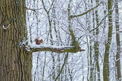 Squirrel sitting on a branch eats in winter stock photos