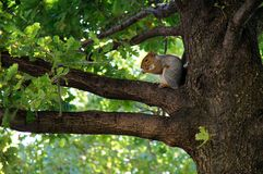 Squirrel. A squirrel sitting on a branch of an oak tree Royalty Free Stock Image