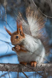 Squirrel that eateth up the nuts Royalty Free Stock Image