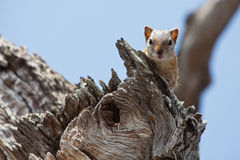 Squirrel sitting on branch in a tree Royalty Free Stock Photos