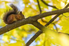 The squirrel sitting on the branch of a tree in the park or in the forest in the warm and sunny autumn day royalty free stock images