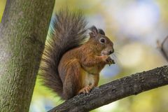 The squirrel sitting in the branch of a tree in the park on the warm and sunny autumn day. The squirrel is eating a nut holding i stock photography