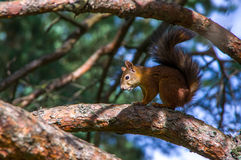 Squirrel sitting on the branches. Of a coniferous tree Royalty Free Stock Image