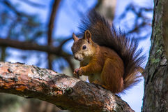 Squirrel sitting on the branches. Of a coniferous tree Stock Images