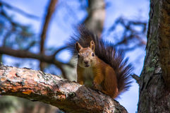 Squirrel sitting on the branches. Of a coniferous tree Stock Photos
