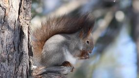 Squirrel sitting on the branches stock video