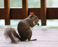 Squirrel sitting on deck. A small squirrel sits on a deck eating a snack with paws up to mouth Stock Image