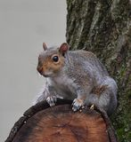 End of the World. Squirrel sitting on edge of cutoff branch looking outward royalty free stock images