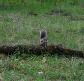 Squirrel enjoying a nut, Singleton Park, Swansea, UK stock photos