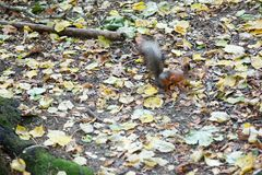 The squirrel sitting among falling leaves on the ground in autumn forest. Natural animal background royalty free stock photo