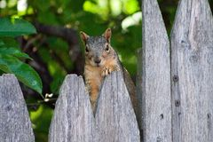 Squirrel sitting on a fence Stock Image