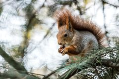 Squirrel sitting on fir tree branch and eating nut. Squirrel sitting on fir tree branch in park and eating nut Royalty Free Stock Photography