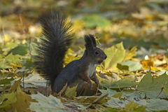 Squirrel sitting on the foliage of maple Stock Photography
