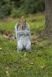 Squirrel sitting on the grass. Grey squirrel sitting on the grass and looking at the camera Stock Images