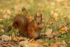 Squirrel sitting on a grass Royalty Free Stock Photo