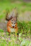 Squirrel sitting on a grass Royalty Free Stock Photography