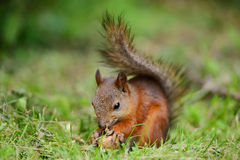 Squirrel sitting on a grass Royalty Free Stock Photos