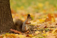 Squirrel sitting on a grass Royalty Free Stock Image