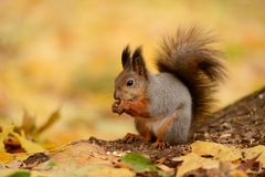 Squirrel sitting on a grass Royalty Free Stock Images