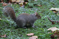 Squirrel sitting on grass Stock Images