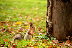 Squirrel sitting on the ground Royalty Free Stock Photos