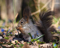 Squirrel sitting at ground at the blue flowers at forest Royalty Free Stock Photography