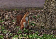 Squirrel sitting on ground Royalty Free Stock Photo