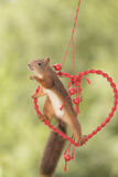 Squirrel sitting in a heart in the air reaching Stock Images